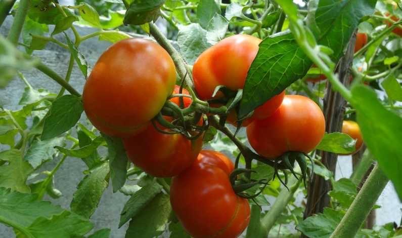 Progamul pentru tomate